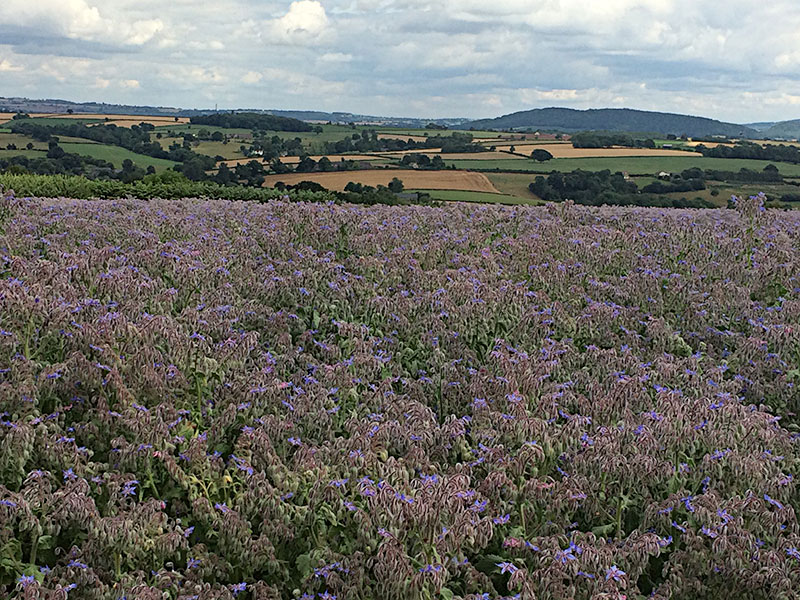 Borage Flowers in a lush field on Trecorras Farm