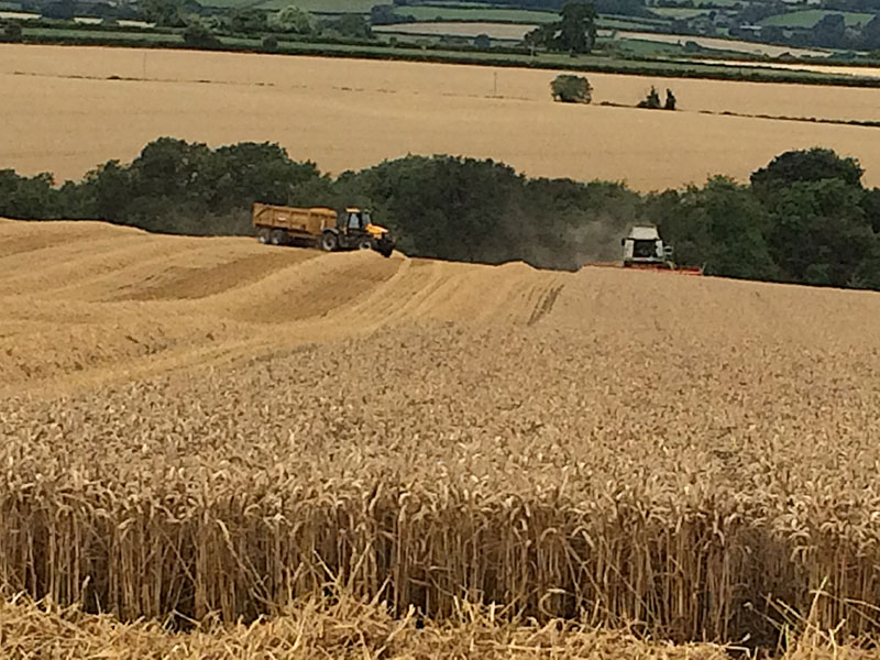 Farm machinery cutting the wheat
